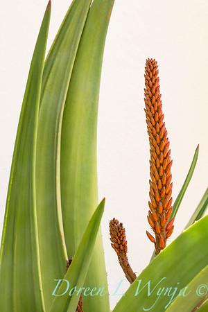Aloe speciosa_1433