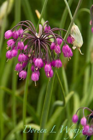 Allium cernuum_018