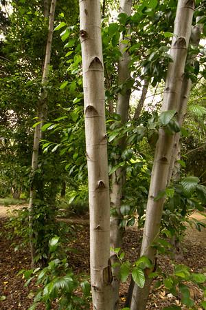 Alnus rhombifolia_001