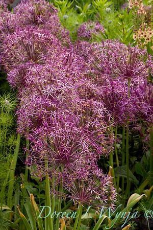 Allium albopilosum_072