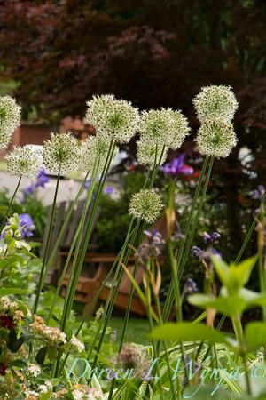 Allium stipitatum 'Mount Everest'_2978