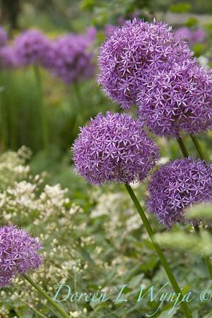 Allium Globemaster_037