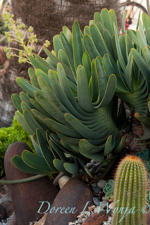 Aloe plicatilis_001
