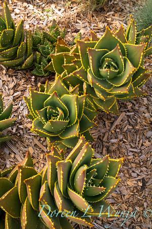 Aloe perfoliata var  distans_1126