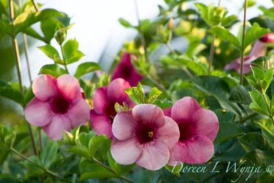 Allamanda cathartica Cherries Jubilee_022