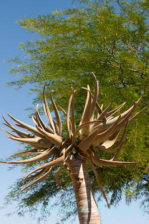 Aloe dichotoma_005