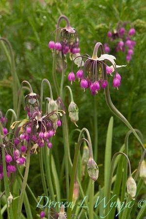 Allium cernuum_016