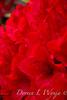 Rhododendron Taurus red_458GAP
