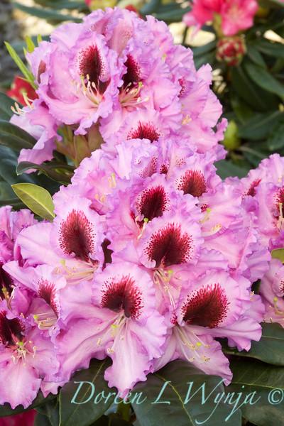 Rhododendron Kabarette_002