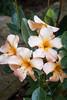 Vireya Rhododendron Harry Wu_6034