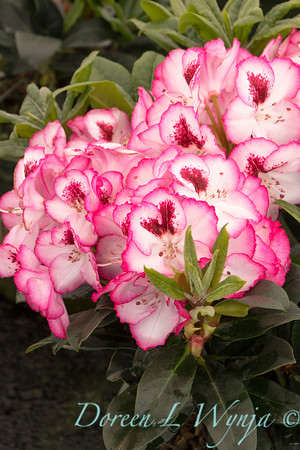 8159 Rhododendron x 'Cherry Cheesecake'_6719
