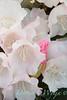 Rhododendron Golfer_007