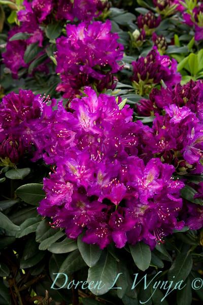 1979 Rhododendron Huskymania_002