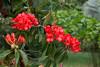 Vireya Rhododendron_3570