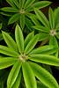 Rhododendron Stigillosum_006