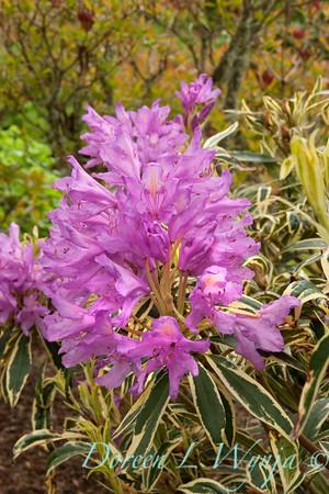 1953 Rhododendron ponticum Variegatum_001
