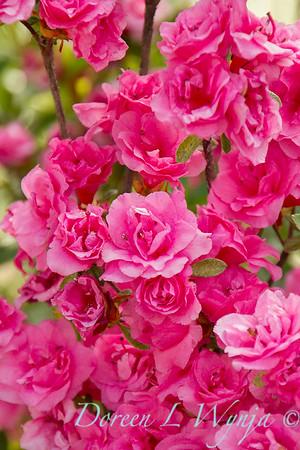 Azalea Kim's Double Pink_8492