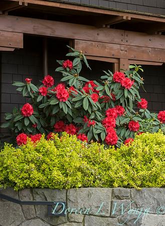 1029 Rhododendron Taurus_001