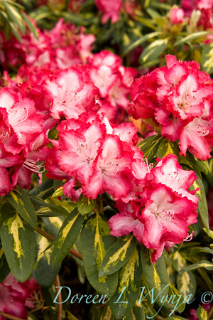 1978 President Roosevelt Rhododendron_001