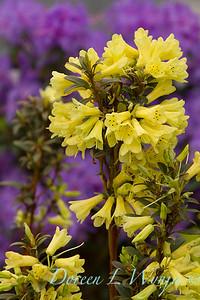 Rhododendron 'Yellow Hammer' - Azalea_1893