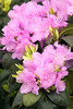 980 Rhododendron x 'P J M '_3945