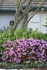 Rhododendron PJM_2584
