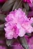 Rhododendron PJM_006