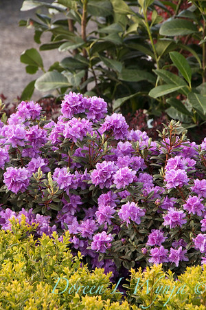 1005 Rhododendron x 'Ramapo'_7212