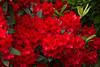 Rhododendron Taurus red_451GAP