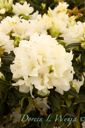 930 Rhododendron Dora Amateis_002