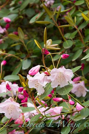 FG160PLPK_Rhododendron williamsianum_3153_DoreenWynja