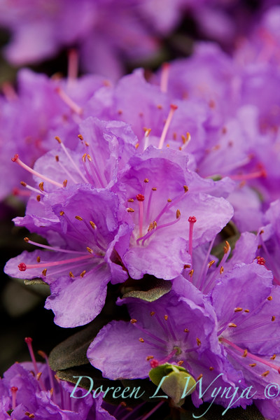 1005 Rhododendron Ramapo_003