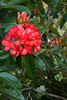 Vireya Rhododendron_3577