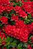 Rhododendron Firestorm_008_5x