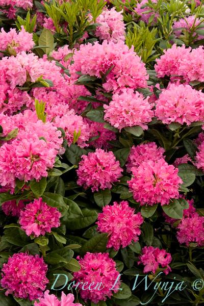 1007 Rhododendron x Rocket_002_72dpi