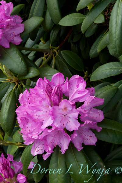 940 Rhododendron English Roseum_005