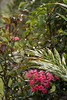 Vireya Rhododendron_4652