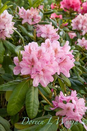 1022 Rhododendron x Scintillation_003