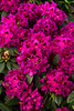 1989 Rhododendron Wojnars Purple_012