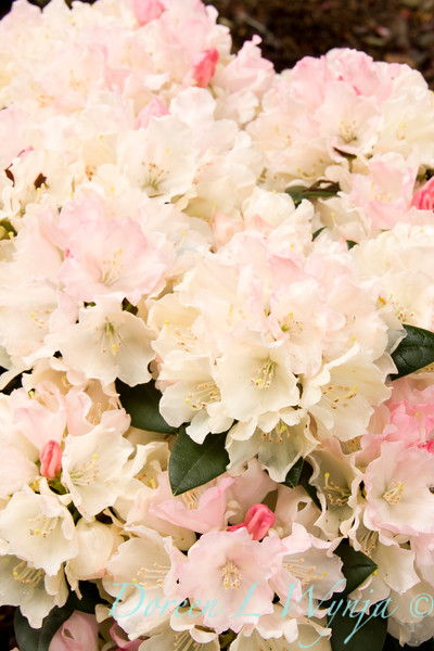 931 Rhododendron x Dreamland_002