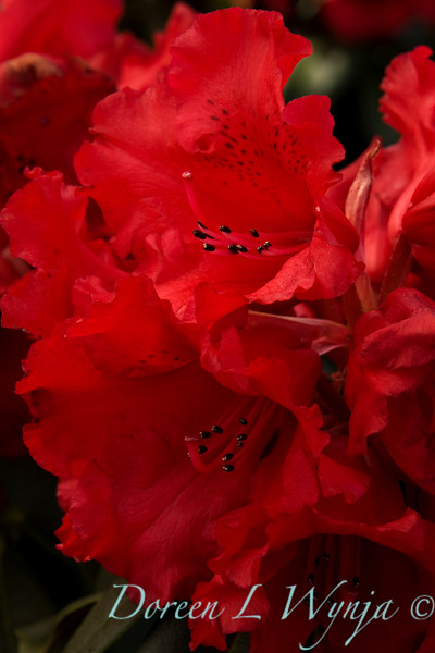 884 Rhododendron Blue Boy_005