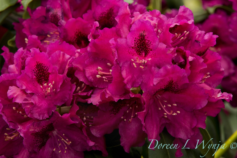 1974 Rhododendron x Slam Dunk_005