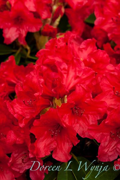 Rhododendron Firestorm_015_5x