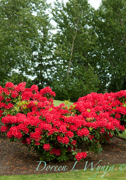 Rhododendron Firestorm_001