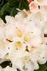 Rhododendron Unique_002