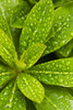 Rhododendron Leaf_007