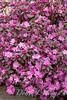 Rhododendron PJM_004