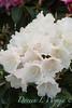 Rhododendron Golfer_001