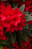 Rhododendron Taurus red_455GAP