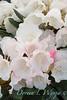 Rhododendron Golfer_006